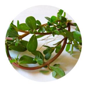 plantari-piante-officinali-Purtulaca-oleracea-meglio-in-salute